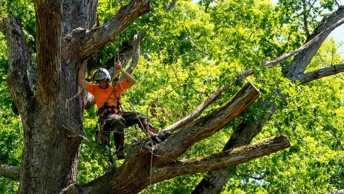 etayage haubanage arbre
